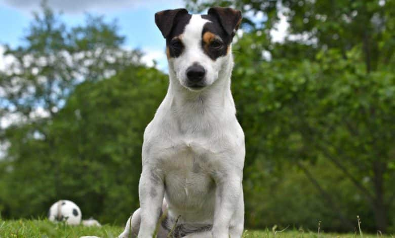 Photo of Jack Russell Terrier – der Familienhund schlechthin in 2019