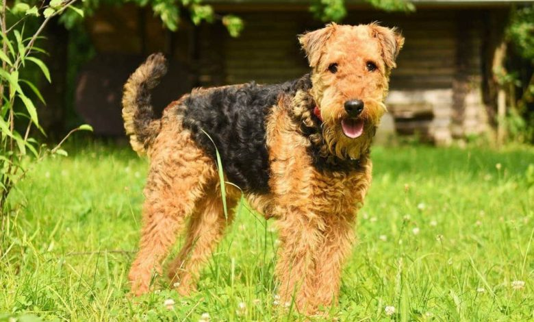 Photo of Airedale Terrier – der aktive König der Terrier in 2020