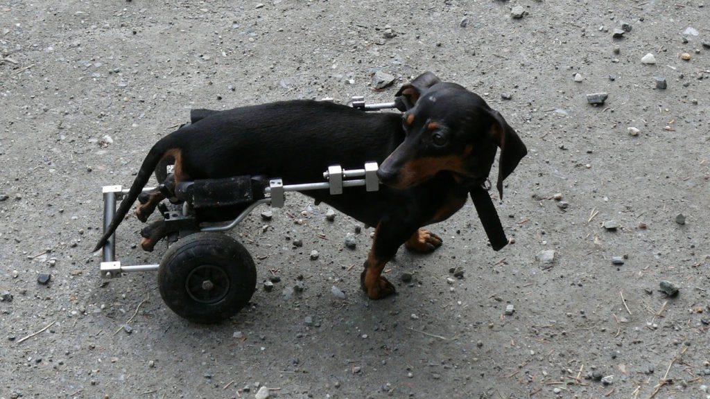 Dackel durch anderen Hund am Hinterteil verletzt Haftpflichtversicherung zahlt Tierarztkosten