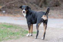 Bild von Appenzeller Sennenhund der vielseitige Arbeitshund