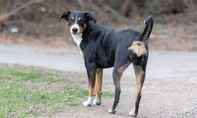 Photo of Appenzeller Sennenhund der vielseitige Arbeitshund