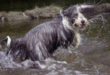 Bild von Bearded Collie – der bärtige Collie wird er genannt.
