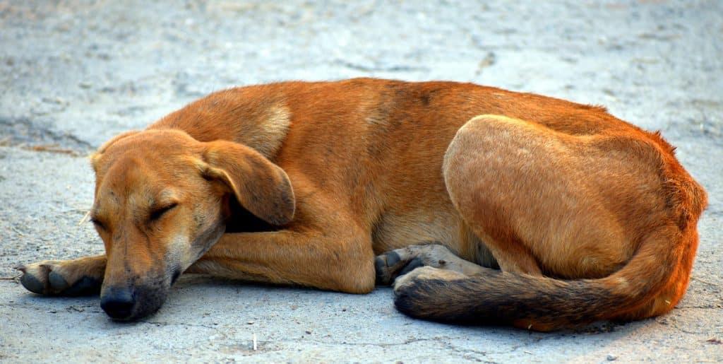 Hund schläft auf dem Bauch