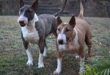 2 bull terrier frontansicht
