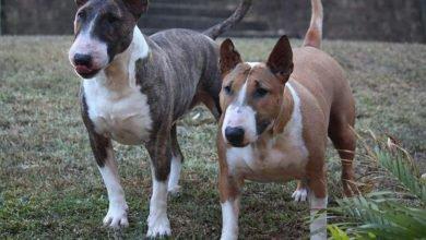 Bild von Bull Terrier – der kräftige mittelgroße Kämpfer