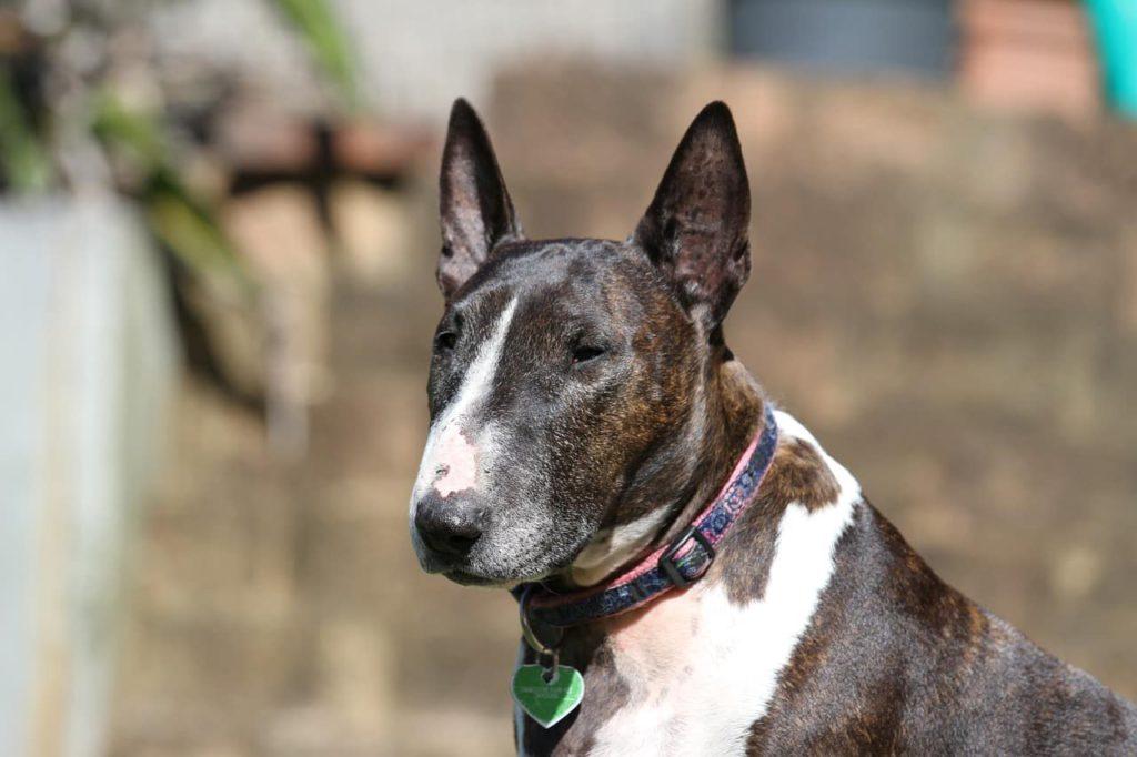 Bull Terrier mit Halsband