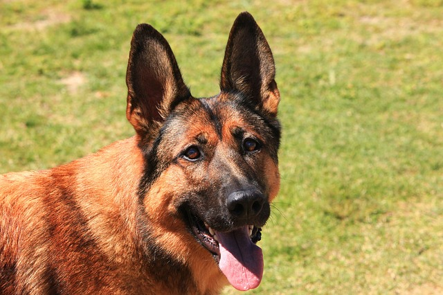 malinois-belgische-schäferhund-rasse
