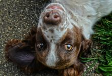 Photo of Augenverletzung beim Hund oder ist es eine Entzündung