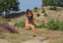 Bild von Der Belgische Schäferhund ein mittelgroßer Gebrauchshund