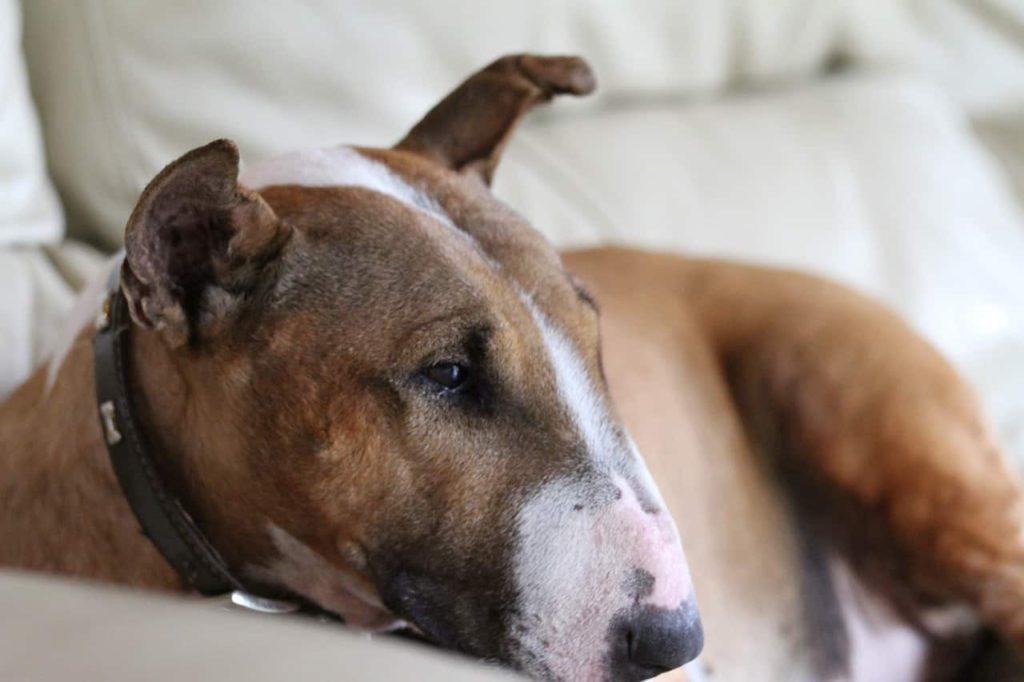 bull Terrier beim Ausruhen auf dem Sofa
