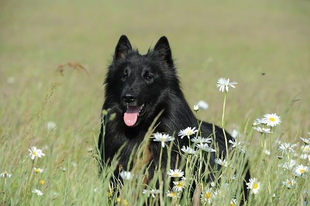 groenendael-belgische-schäferhunde-rasse