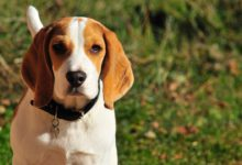 Photo of Beagle, der kleine kompakte Jagdhund