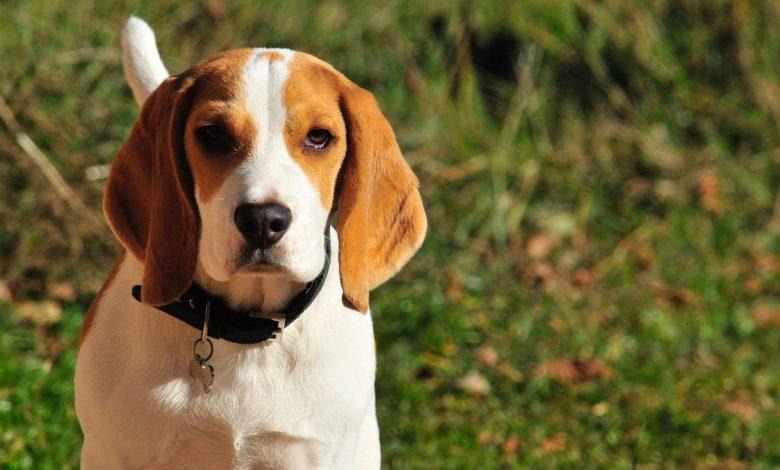 beagle - ein wunderschöner welpe