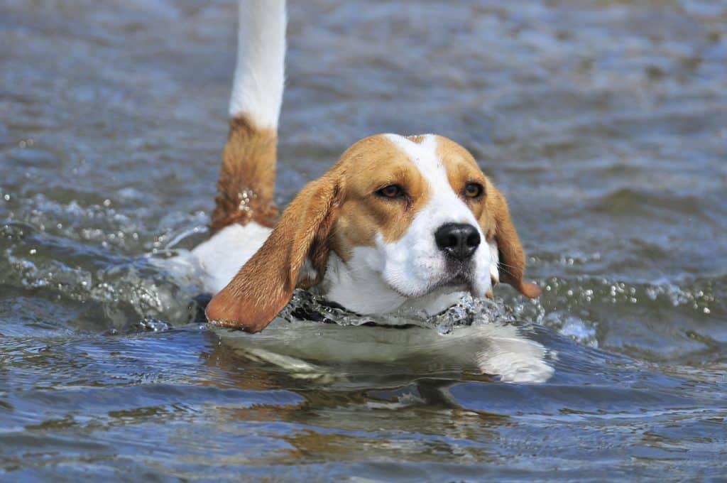 beagle als wasserratte