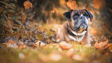Bild von Boxer – der intelligente, wachsame und zuverlässige Hund