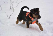 deutscher jagdterrier im schnee