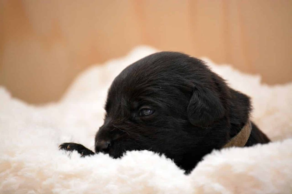 belgischer schäferhund welpe