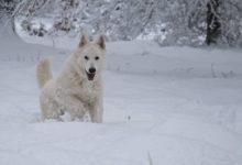 berger blanc suisse - weißer schweizer schäferhund