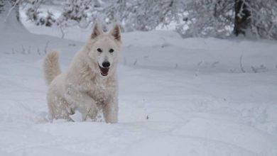 Bild von Berger Blanc Suisse – Weißer Schweizer Schäferhund auch genannt