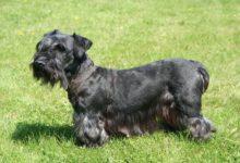 cesky terrier schwarz
