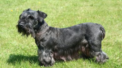 Photo of Der Cesky Terrier, ein liebevoller interessanter Hund