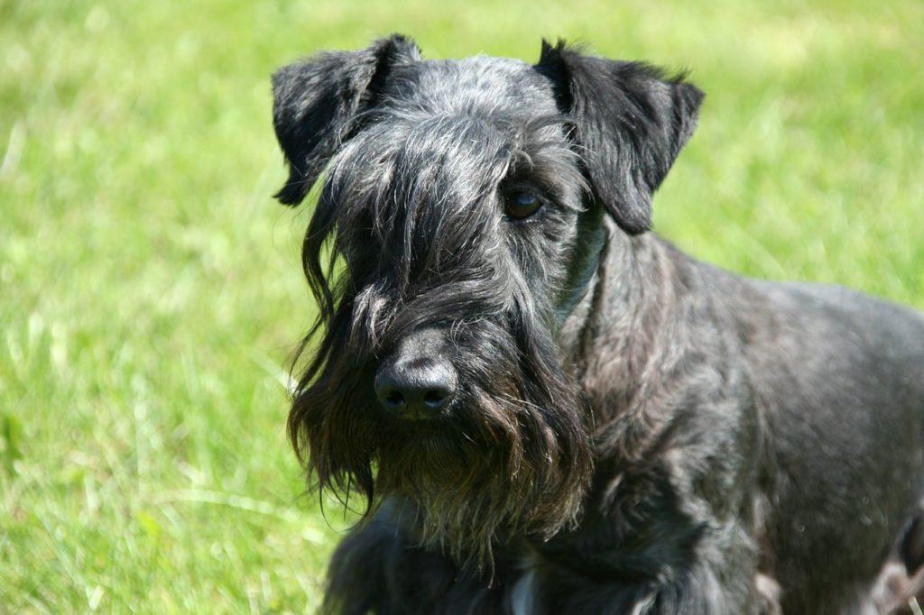 cesky terrier schwarz frontansicht