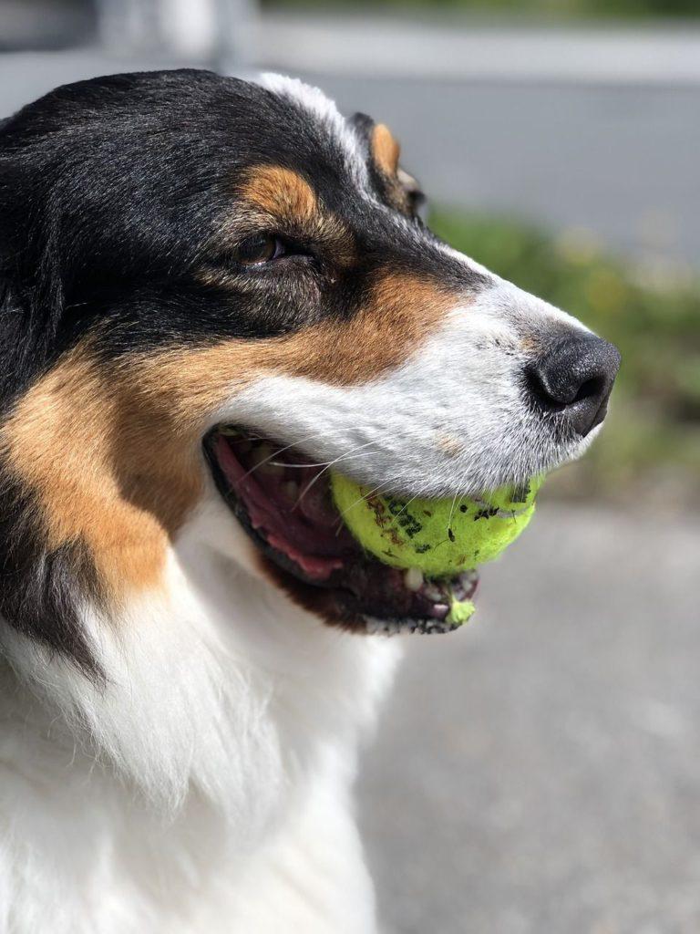 hundesport flyball