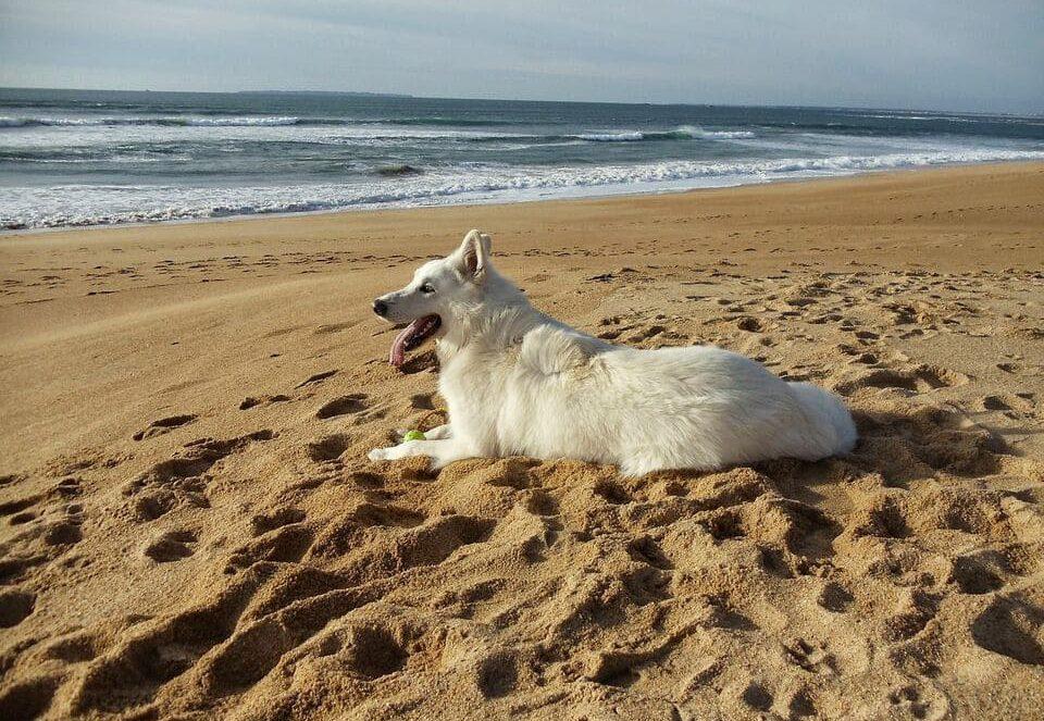 weißer schweizer schäferhund beim spielen am strand