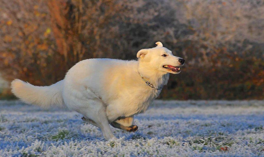 berger blanc suisse - weißer schweizer schäferhund beim sprint