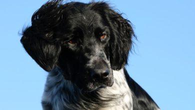 vorstehhunde große münsterländer jagdgebrauchshund