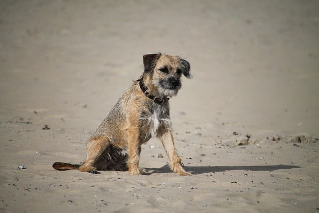 Trotz Unterwolle verlieren Border Terrier wenig Haare