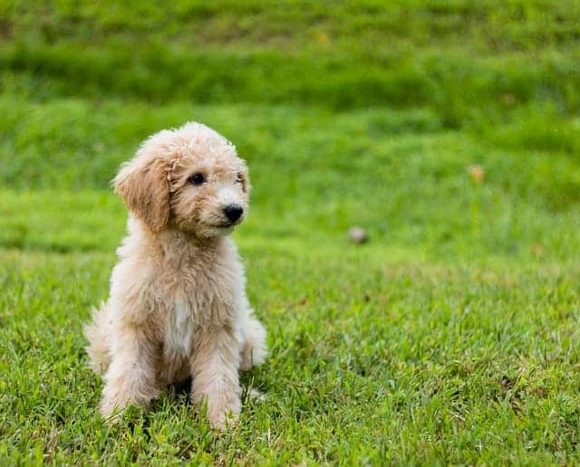 Goldendoodle sind unkomplizierte Hunde