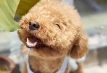 Bild von Hunderassen die nicht haaren oder Hunde für Allergiker