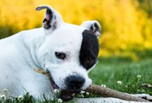 Photo of Der American Staffordshire Terrier, der Mutige Terrier
