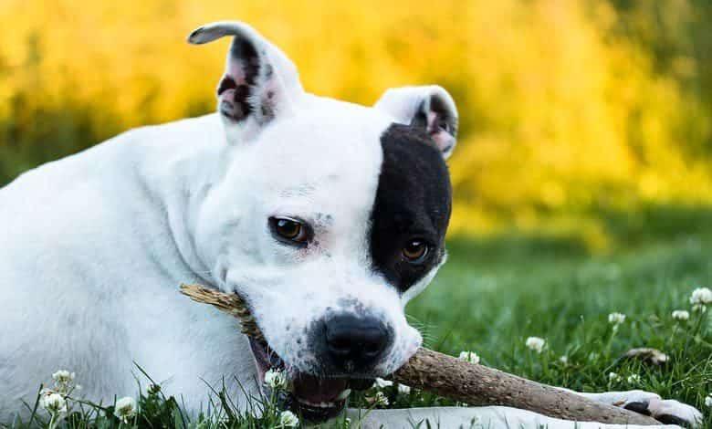 Der American Staffordshire Terrier, der Mutige Terrier