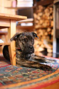platz 10 - die tibet dogge