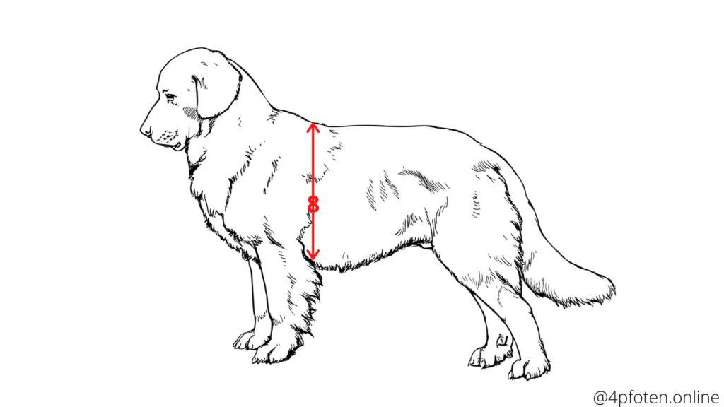 brustumfang vom hund richtig messen