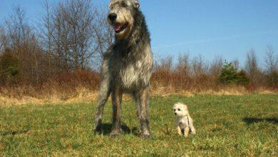Bild von Die größten Hunde der Welt