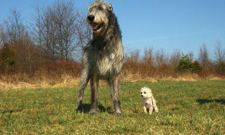 die 10 größten hunde der welt beitragsbild
