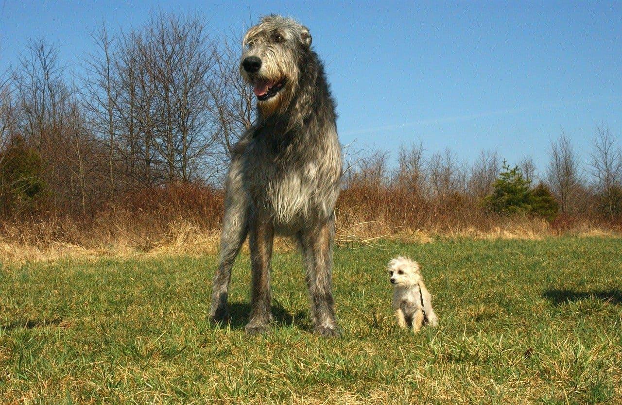 platz 1 irischer wolfshund als vergleich mit einem chihuahua pudel mix