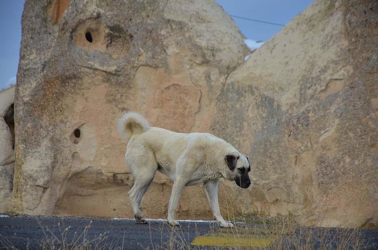 platz 3 anatolischer hirtenhund - kangal