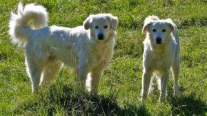 platz 4 pyrenäenberghund