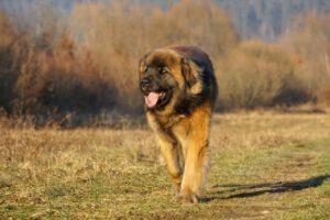 platz 6 leonberger die 10 größten hunde der welt