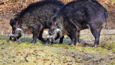 die afrikanische schweinepest ist für hunde nicht gefährlich