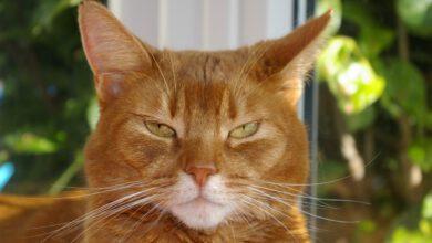 abessinier katze stolz vor dem fenster und wirkt recht aufgeweckt und interessiert