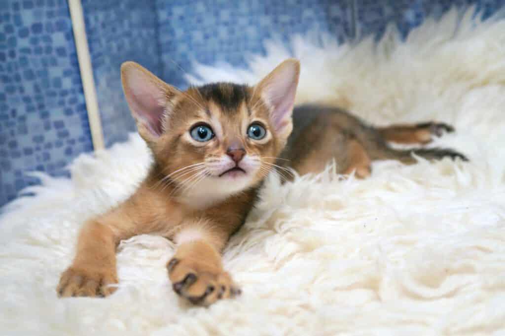 abessinier junges kätzchen auf dem teppich