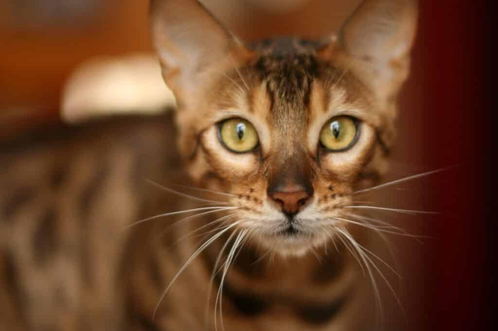 bengal katze neugierig gesichtsbild