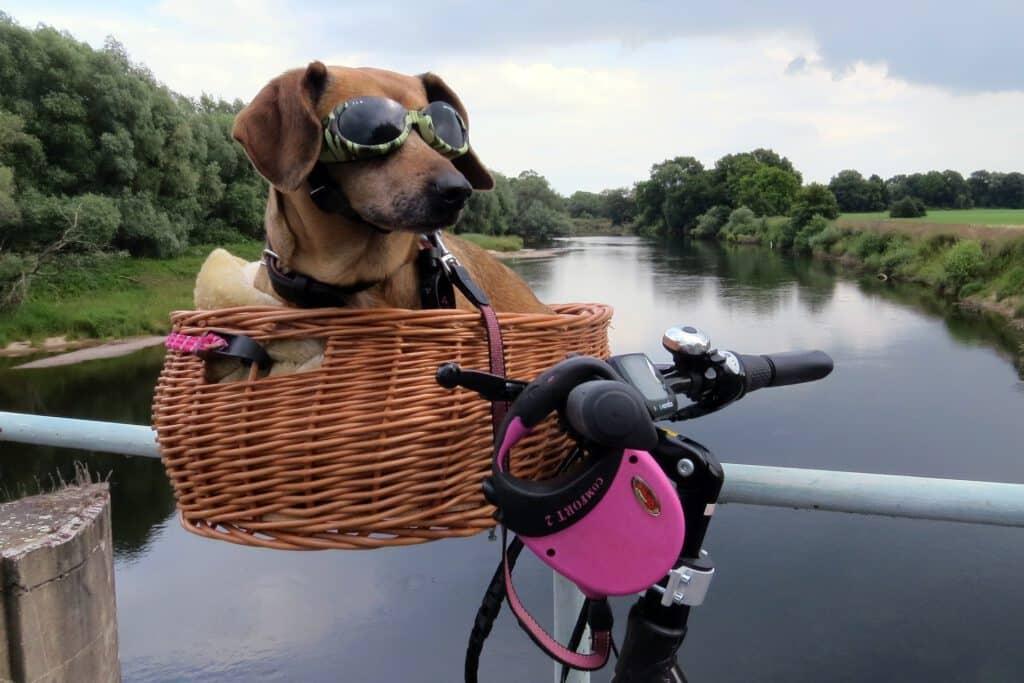 dackel mit sonnenbrille im fahrradhundekorb für den lenker