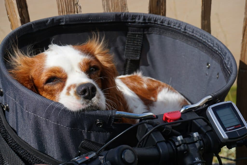 hundefahrradkorb für den lenker hund fühlt sich pudelwohl