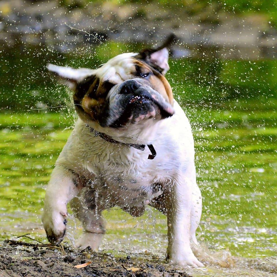bulldogge schüttelt sich nach dem schwimmen frühling mit hund